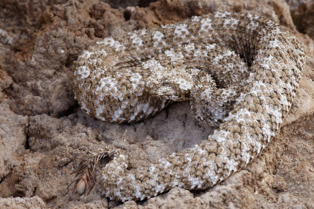 Vipère à queue d'araignée - Pseudocerastes urarachnoides, Iran