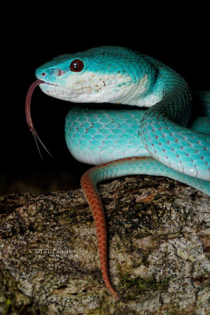 Trimeresurus insularis bleue