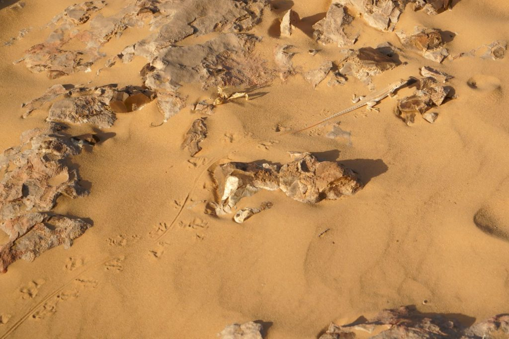 Acanthodactylus boskianus tracks