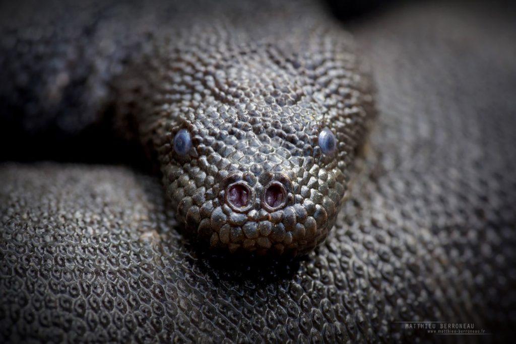 Marine file snake, Komodo, Acrochordus granulatus, Indonésie, Rinca, Snake, marine snake, Matthieu Berroneau
