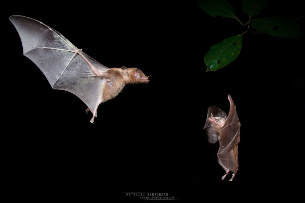 Anoura fistula, Tube-lipped nectar bat, Ecuador, Equateur, Matthieu Berroneau