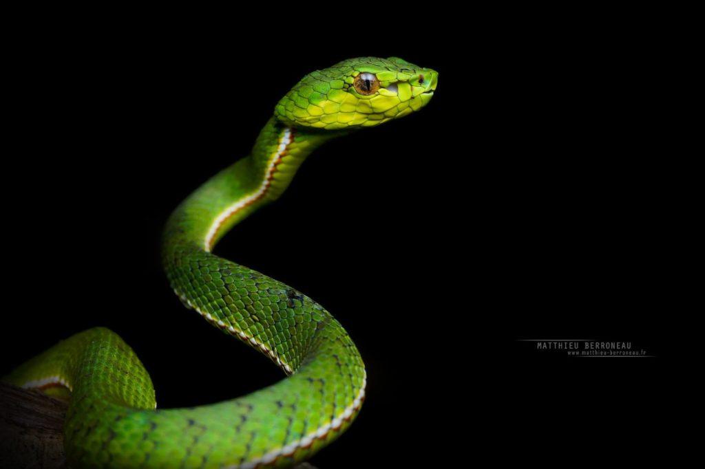 Kinabalu Green Pit Viper, Trimeresurus malcolmi, Borneo, Malaysia, Matthieu Berroneau