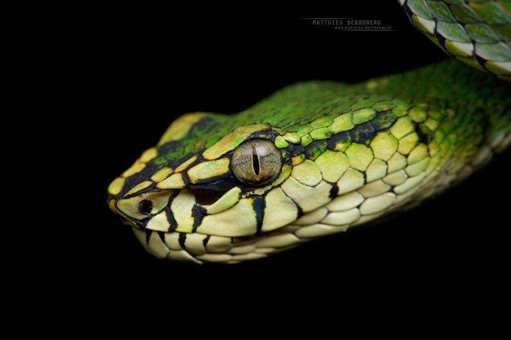 Trimeresurus sumatranus, Sumatran Pit Viper, Borneo, Matthieu Berroneau, Malaysia