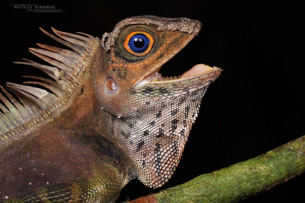 Gonocephalus liogaster, Borneo, Matthieu Berroneau, Blue-eyed Angle-headed Lizard, Malaysia, macro, blue, eye, yeux