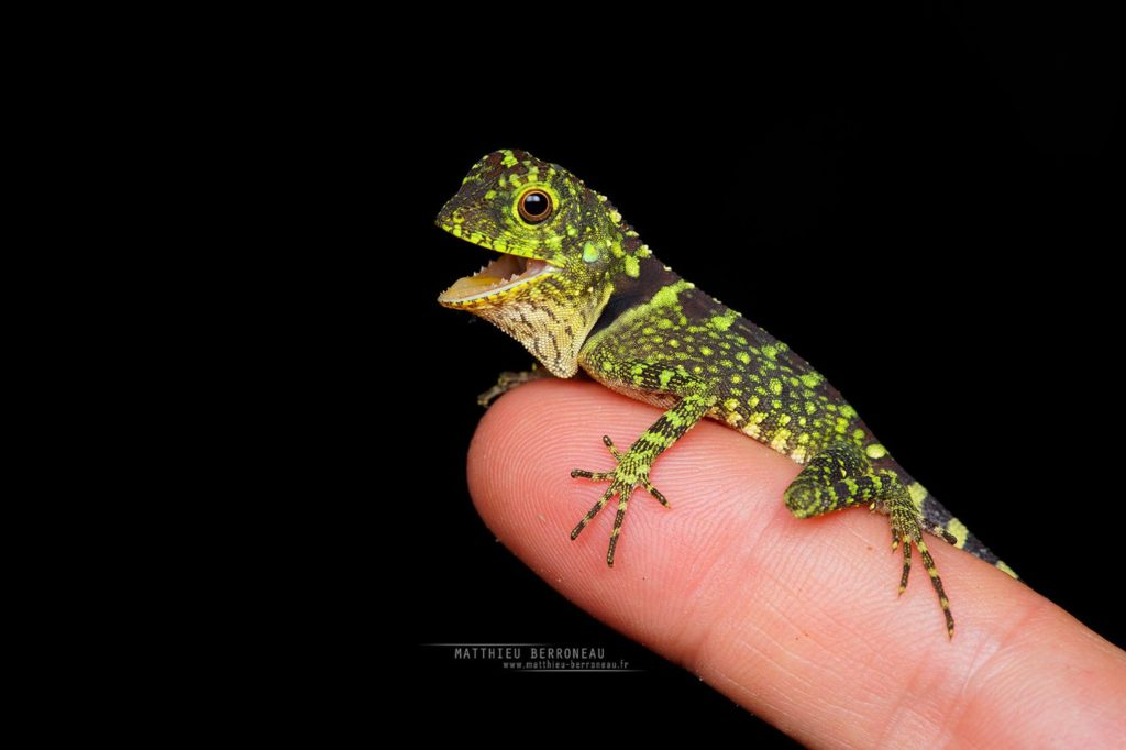Gonocephalus liogaster, Borneo, Matthieu Berroneau, Blue-eyed Angle-headed Lizard, Malaysia, dragon, scales, small, young, juvenile, hand, finger, doigt, main