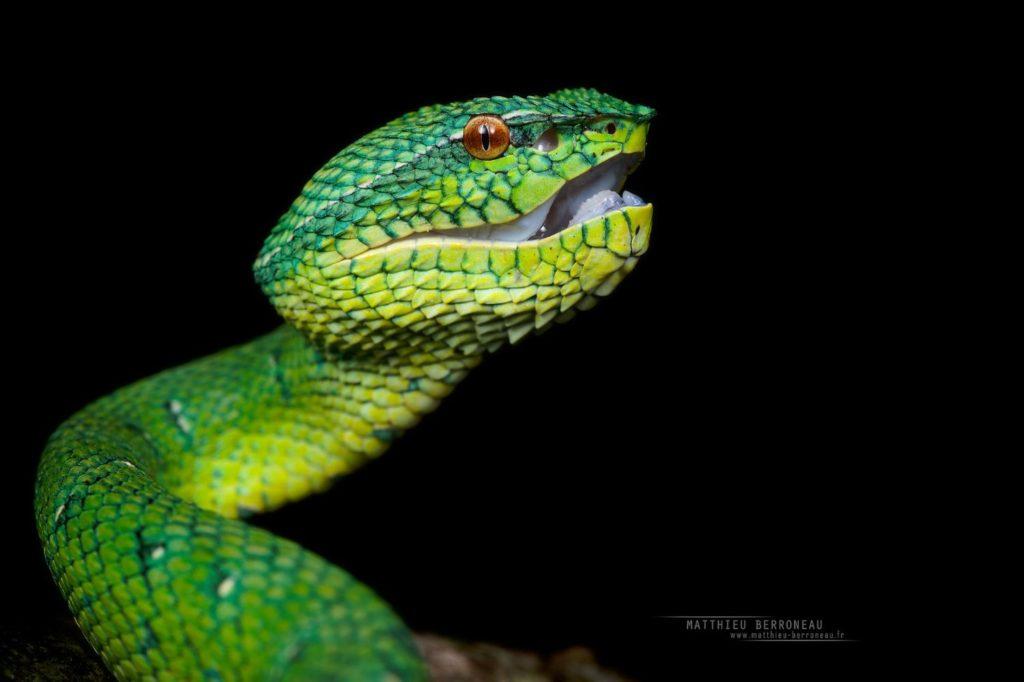 Tropidolaemus subannulatus, Bornean Keeled Green Pit Viper, Pit viper, Borneo, Malaysia, Matthieu Berroneau, Dragon, open mouth, snake