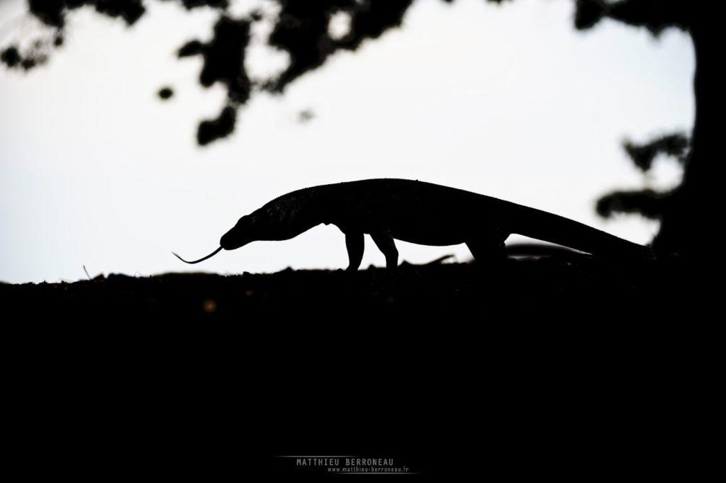 Varanus komodoensis, Varan de Komodo, Komodo Dragon, Matthieu Berroneau, Dragon, Komodo