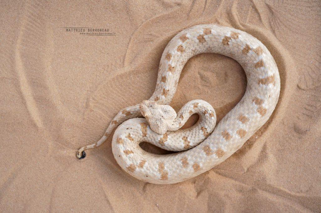 Persian Horned Viper, Pseudocerastes persicus, Israel, Israël, Matthieu Berroneau