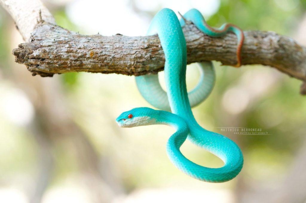 Trimeresurus insularis, vipère bleue, Blue White-lipped Island Pitviper, Komodo, blue, bleu, Matthieu Berroneau