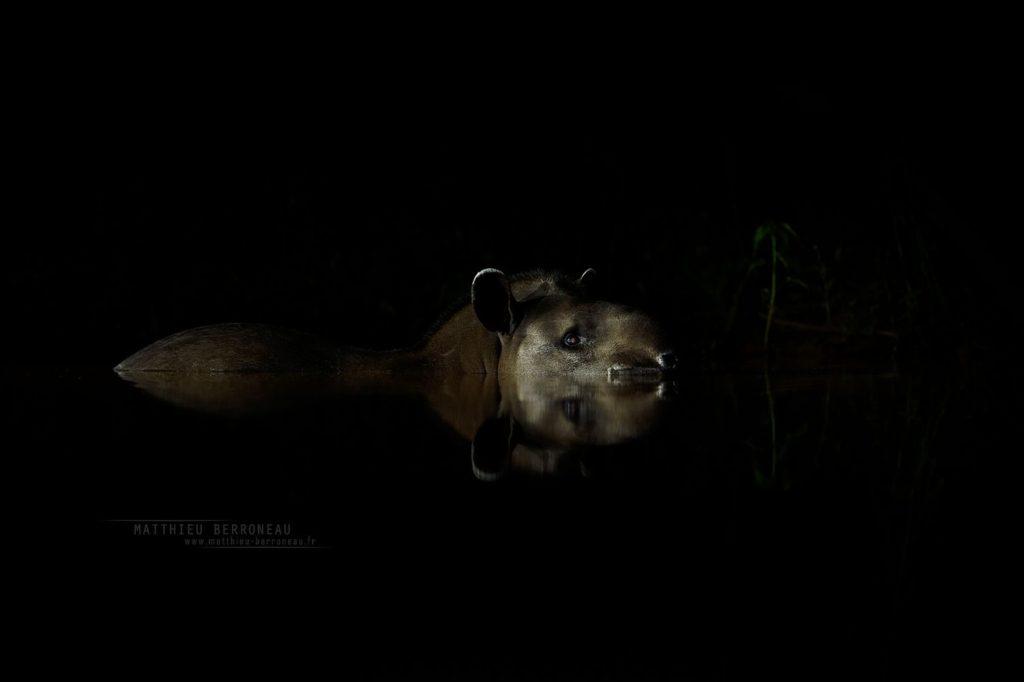 Tapirus terrestris, Tapir brésilien, Brésil, South American tapir, Brazil, Matthieu Berroneau