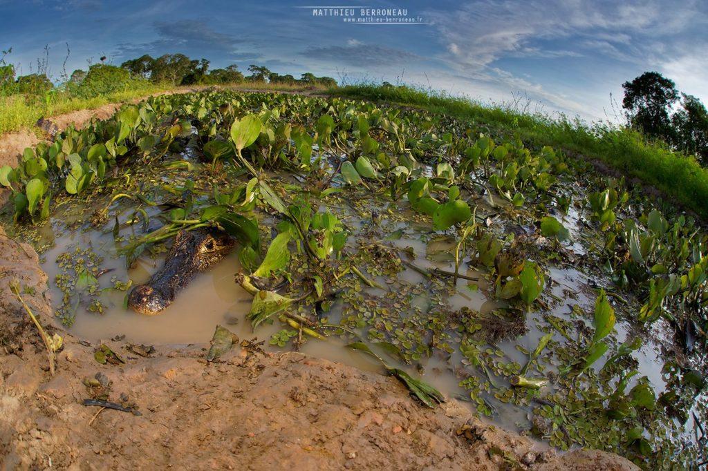 Caiman yacare, Jacare, Yacare, Caiman, Crocodile, Brazil, Brésil, Matthieu Berroneau, habitat, mare, caché, chasse, fisheye