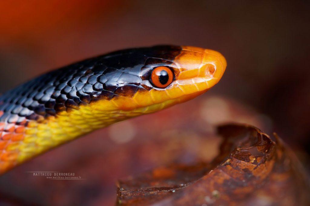 Oxyrhopus occipitalis, Yellow-headed Flame-Snake, Falsa coral cabeciamarilla, Equateur, Ecuador, red, rouge, snake, serpent, Matthieu Berroneau