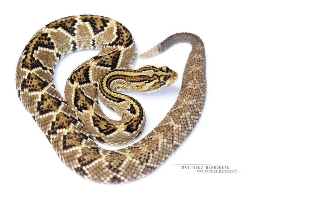 Crotalus mictlantecuhtli on white background