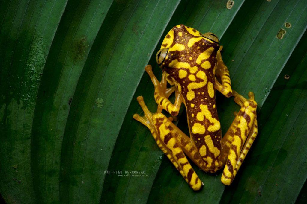 Boana picturata Imbabura Tree Frog