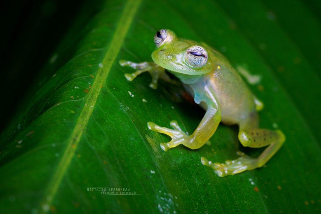 Emerald Glassfrog Rana de vidrio esmeralda Espadarana prosoblepon