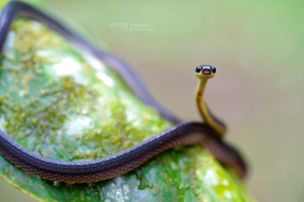 Diaphorolepis wagneri Ecuador Frog-eating Snake Culebra sombría jorobada