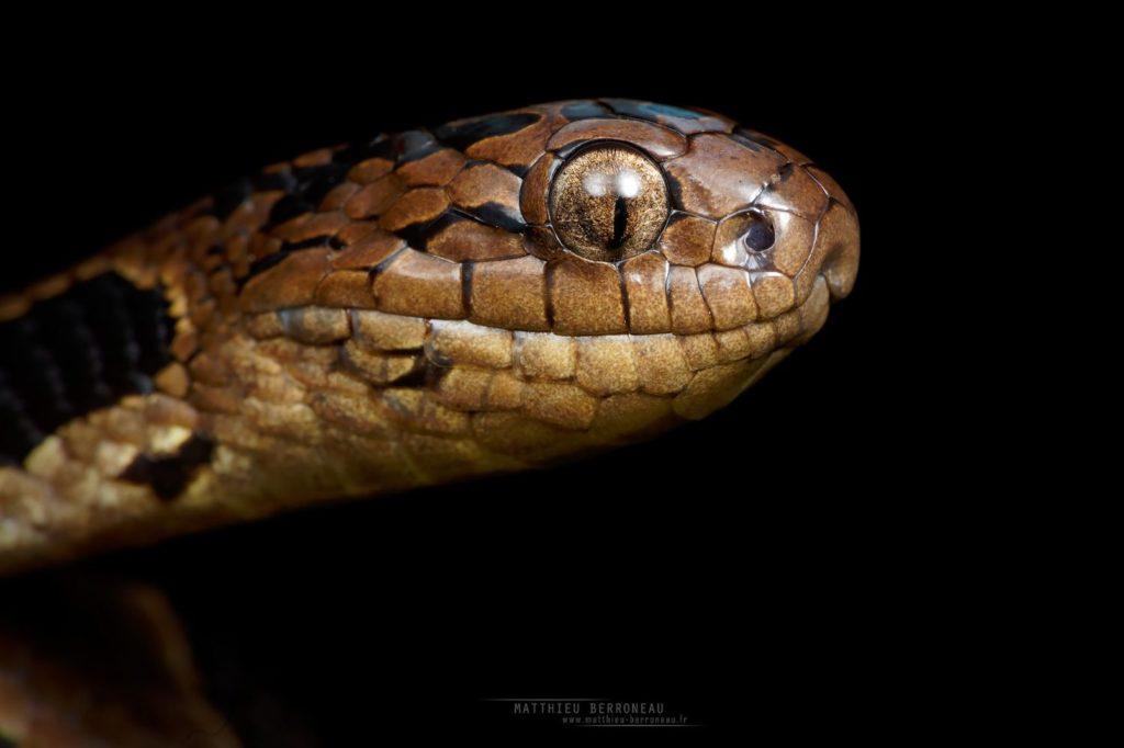 Dipsas andiana Andean Snail-Eater Caracolera andina