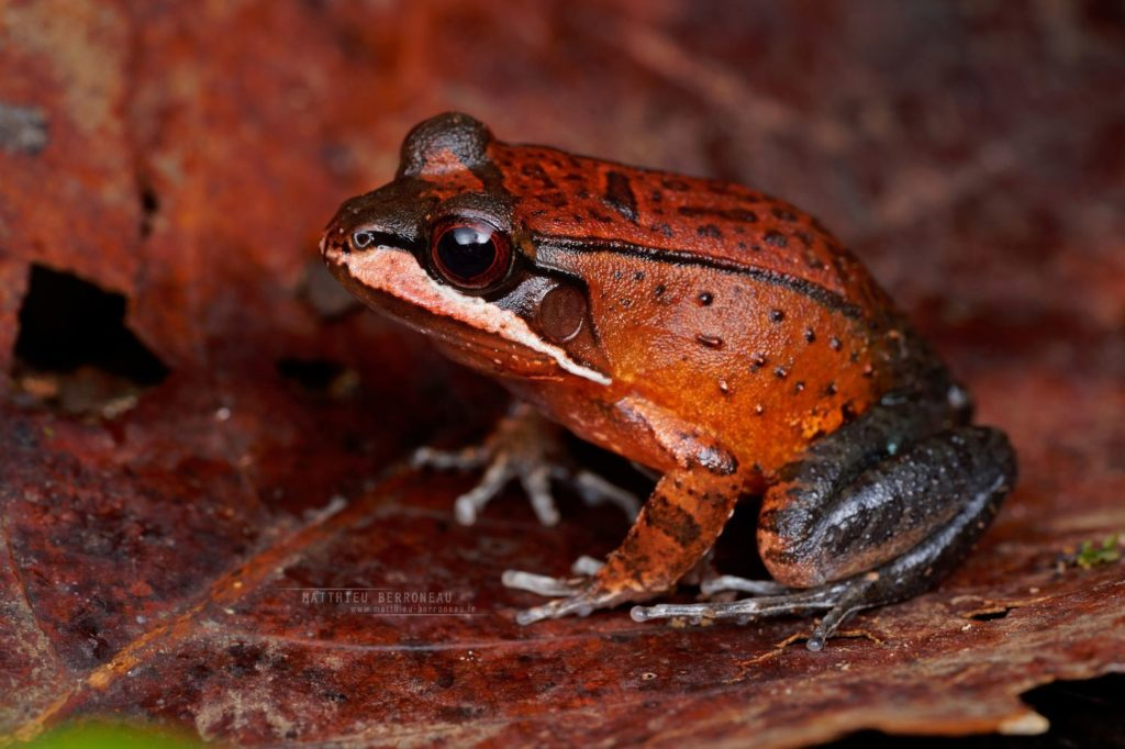 Leptodactylus rhodomystax Loreto White-lipped Frog Sapo-rana Rugoso De Boulenger