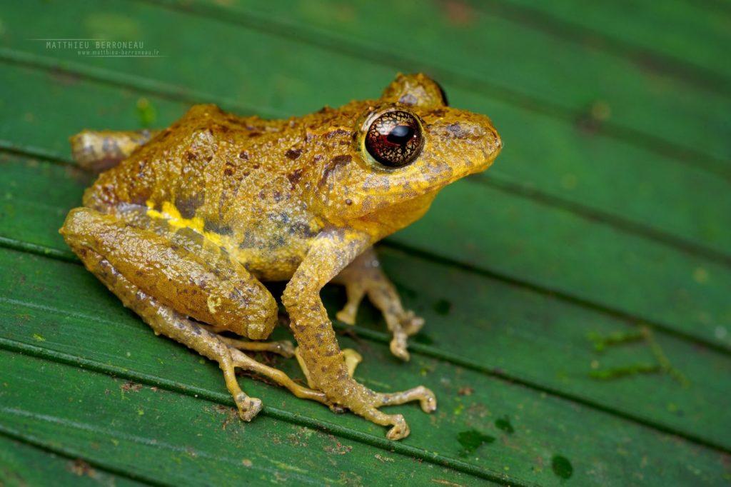 Pristimantis latidiscus Disc Robber Frog