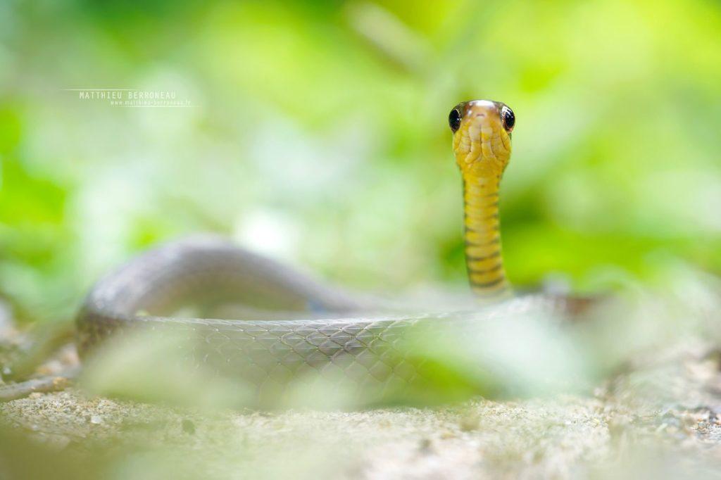 Dendrophidion graciliverpa Slender Forest-Racer Corredora selvática delgada