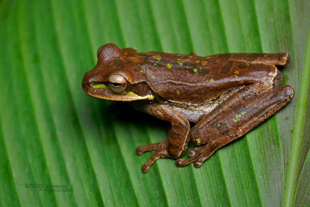 Masked Tree Frog Smilisca phaeota