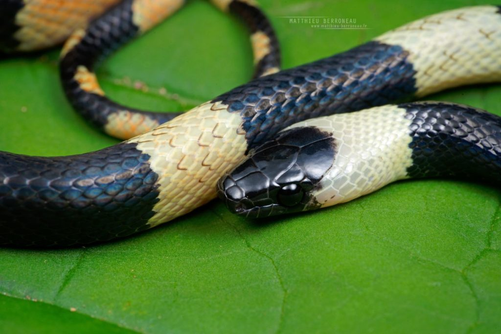 Oxyrhopus petolarius Calico False Coral Snake Banded Calico Snake Forest Flame Snake