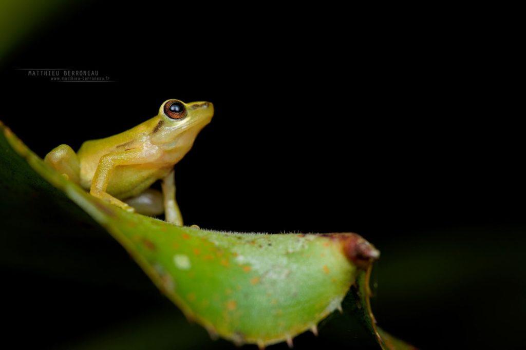 Canelos Robber Frog Pristimantis accuminatus