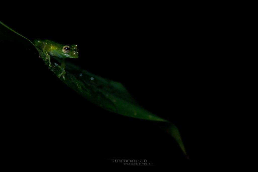 Teratohyla midas King Glassfrog