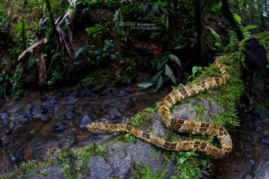 Bothrops taeniatus Speckled Forest Pit Viper Mapanare Liquenosa