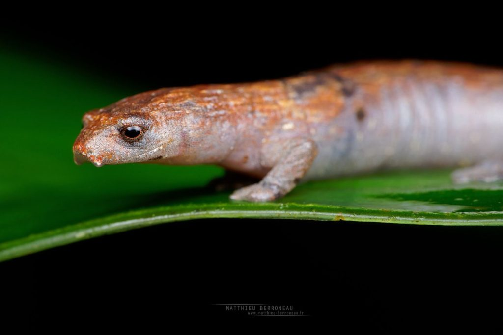 Peru Mushroomtongue Salamander Bolitoglossa peruviana
