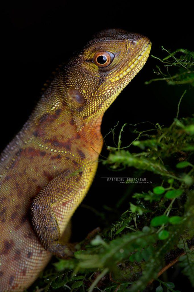 Enyalioides heterolepis Rough-scaled Dwarf-Iguana Iguana enana rugosa
