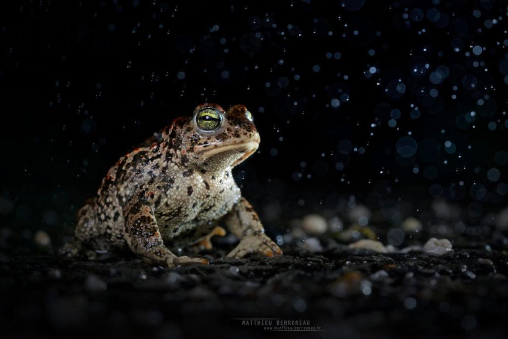 Epidalea calamita, Natterjack toad, toad, Crapaud calamite, Matthieu Berroneau, France, pluie, rain, bad weather, tempête, goutte d'eau, drop