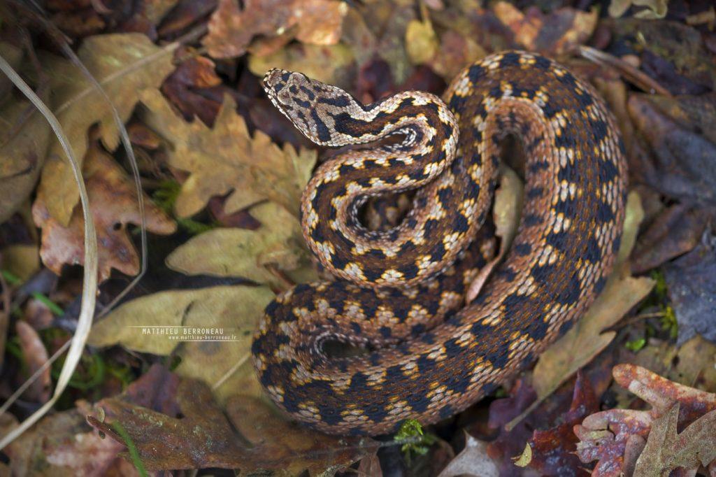 Vipera aspis zinnikeri, asp viper, vipère aspic, amazing morph, color, couleur, incroyable, gironde, Bordeaux