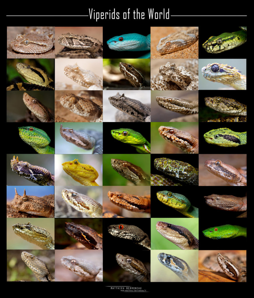 Snake, viper, viperids, viperidaes, rattlesnake, viper, biodiversity, variability