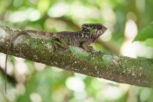 Corytophanes cristatus, Costa Rica