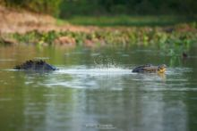 Caiman yacare, Jacare, Yacare, Caiman, Crocodile, Brazil, Brésil, Matthieu Berroneau, communication, reproduction