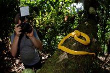 Shooting de Bothriechis schlegelii, Costa Rica
