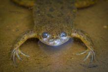 Lake Victoria Clawed Frog, Kenya