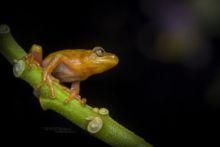 Cinnamon-bellied Reed Frog, Kenya