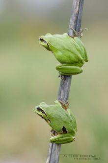 Hyla meridionalis, Rainette méridionale, Mediterranean tree frog, Stripeless Tree Frog, Hyla molleri, Rainette ibérique, Iberian tree frog, Ranita de San Antón, Matthieu Berroneau, France