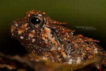 Craugastor rugosus, Eleutherodactylus rugosus, Costa Rica, Rugose Robber Frog, rana ladrona de rugose, Matthieu Berroneau