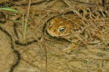 Epidalea calamita, Natterjack toad, toad, Crapaud calamite, Matthieu Berroneau, France, reproduction, Amplexus, ponte, egg, oeuf, clutch