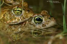 Epidalea calamita, Natterjack toad, toad, Crapaud calamite, Matthieu Berroneau, France, reproduction, Amplexus