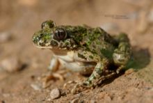 Pelodytes punctatus, Pélodyte ponctué, Matthieu Berroneau, France, Parsley frog, Sapillo moteado común,