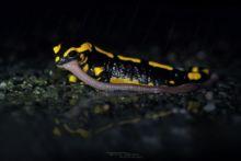 Salamandra salamandra terrestris, Fire Salamander, Salamandre tachetée, Matthieu Berroneau, eating, predation, capture, ver, lombric, earthworm