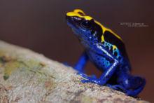 Dendrobate à tapirer, Dendrobates tinctorius, Guyane, Blue Poison Dart Frog, French Guiana, Matthieu Berroneau