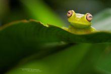 Rough-skinned Green Tree Frog, French Guiana, Hypsiboas cinerascens, Guyane, Matthieu Berroneau, Rana Granosa