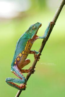 Phyllomedusa vaillantii, White-lined leaf frog, Matthieu Berroneau, Guyane, French Guiana, frog, rainette