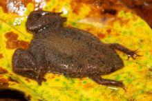 Pipa aspera, Albina Surinam Toad, Guyane, French Guiana