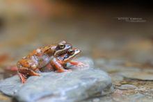 Rana pyrenaica, Pyrenean frog, Grenouille des Pyrénées, France, Matthieu Berroneau, Amplexus, reproduction